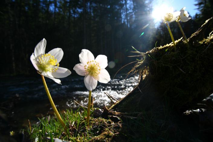 Schneerosen im Frühling